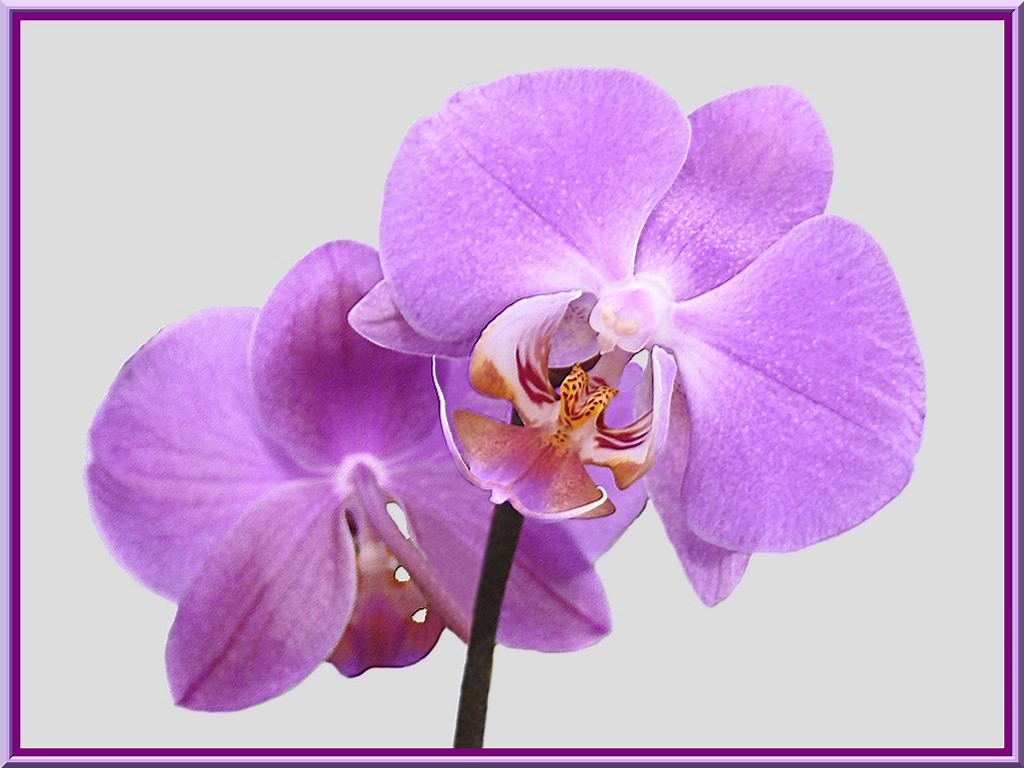 seduisantes orchidees essentiellement nature. Black Bedroom Furniture Sets. Home Design Ideas
