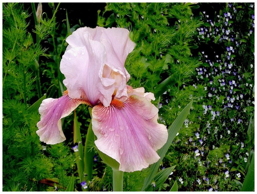 Le langage des fleurs g h i essentiellement nature - Langage des fleurs iris ...