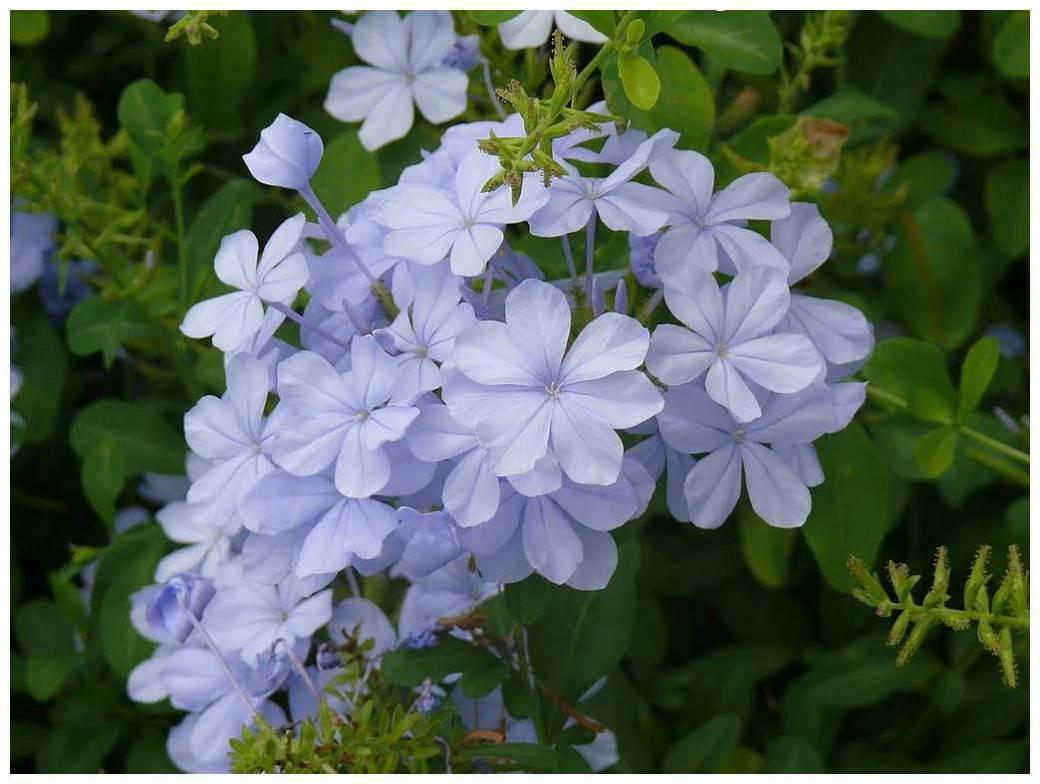 jasmin-bleu