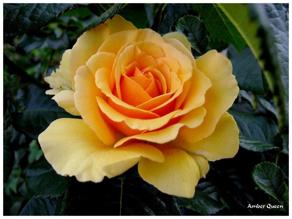 LE LANGAGE DES ROSES. (4/6)