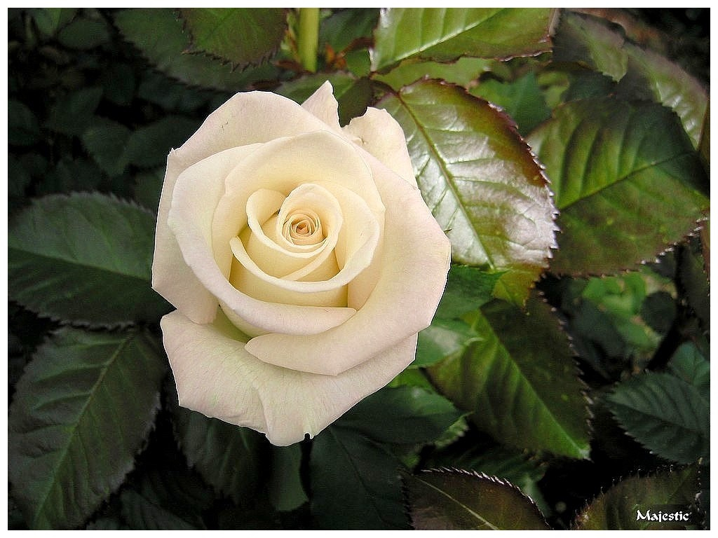 Rose Et Blanche : Le langage des roses vivre en harmonie