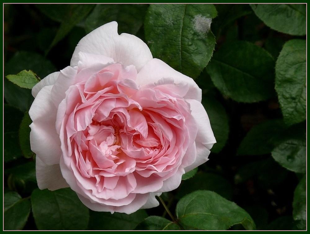 LE LANGAGE DES ROSES. (2/6)