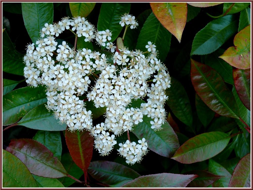 fleurs-photinia.jpg