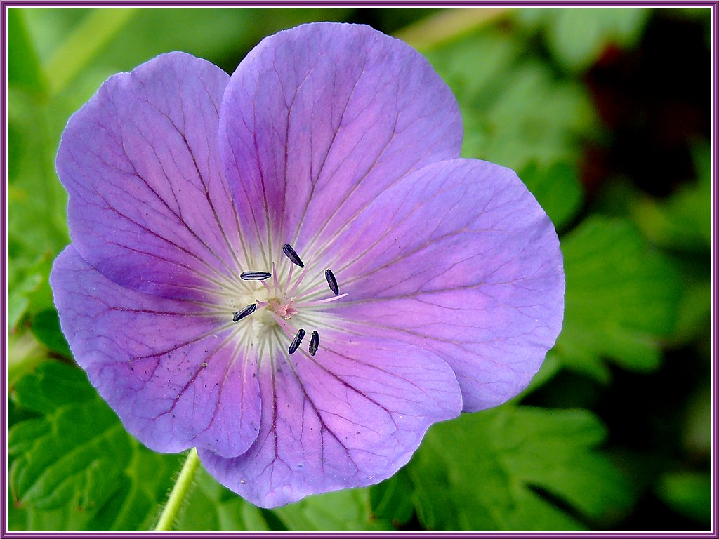 geranium-vivace-bleu.jpg