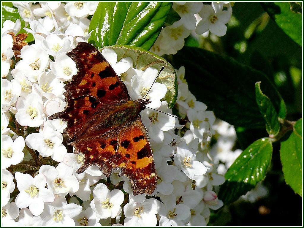 papillon-viorne.jpg