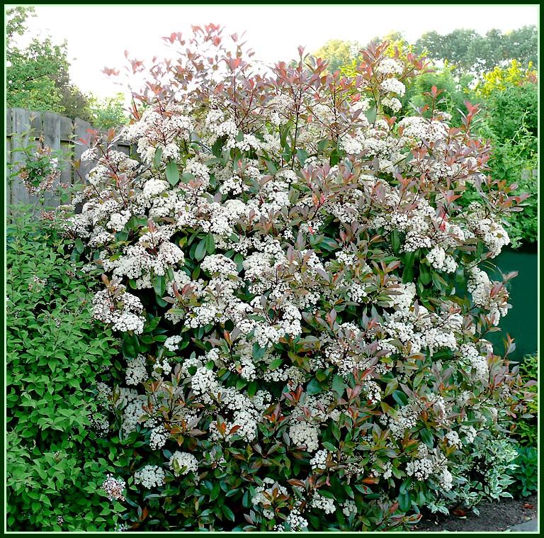 photinia-fleurs.jpg