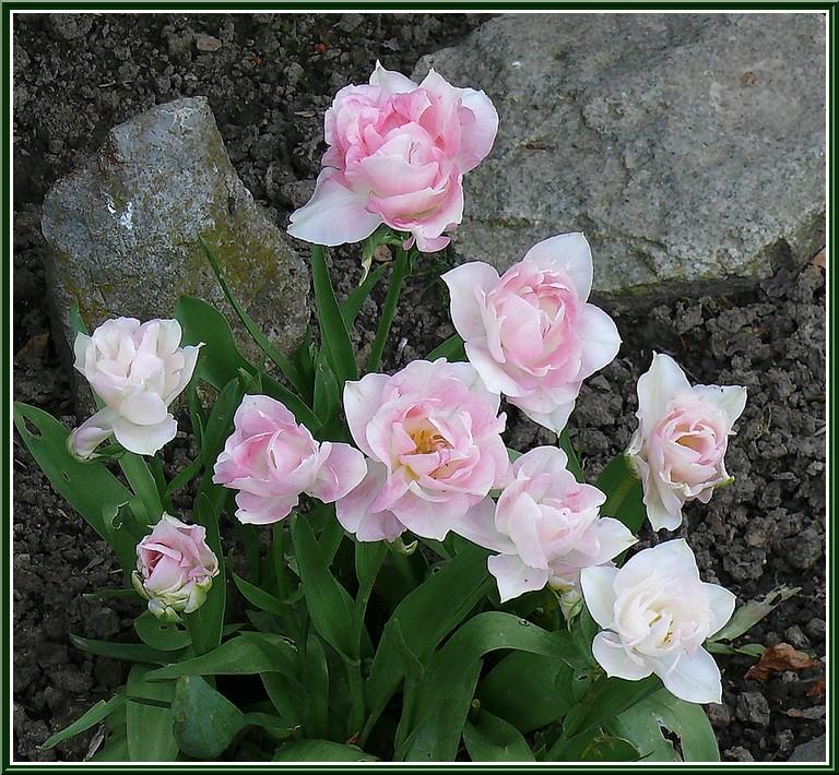 plante-tulipes.jpg