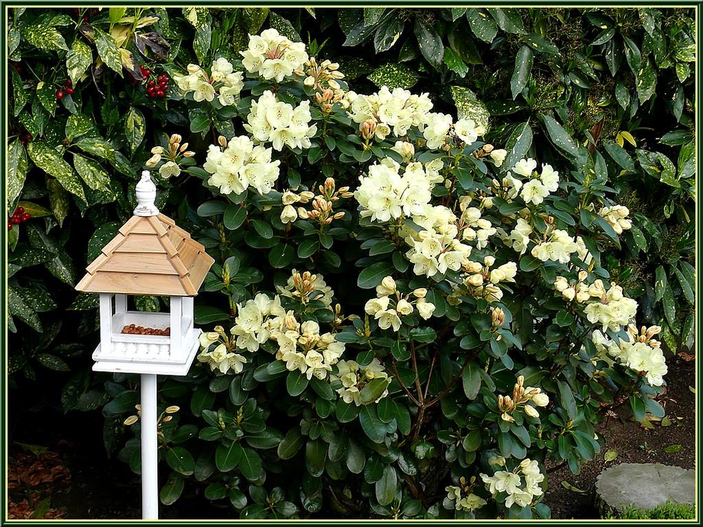 rhodo-arbuste-jaune.jpg