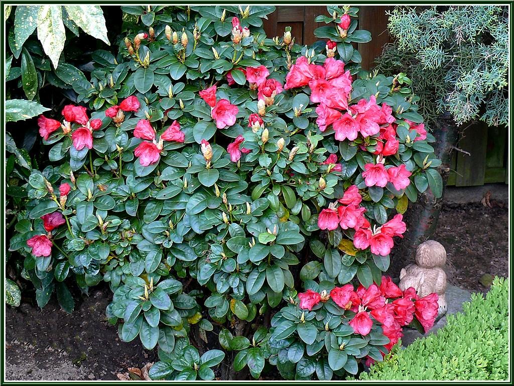 rhodo-arbuste.jpg