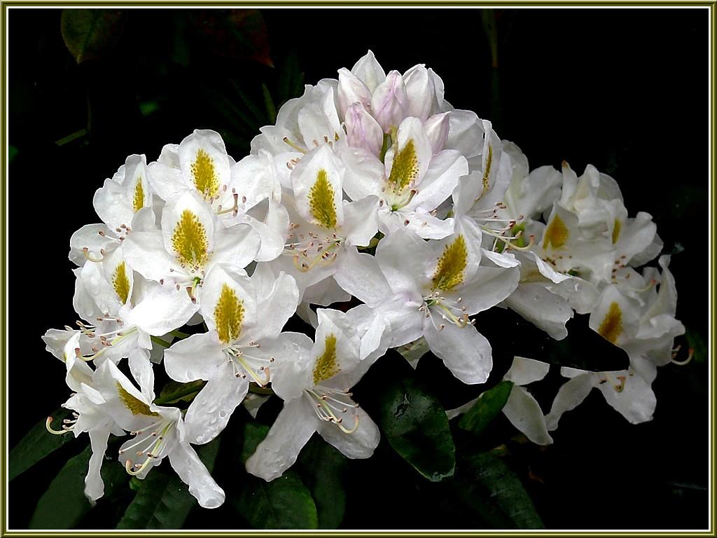rhodo-blanc-02.jpg