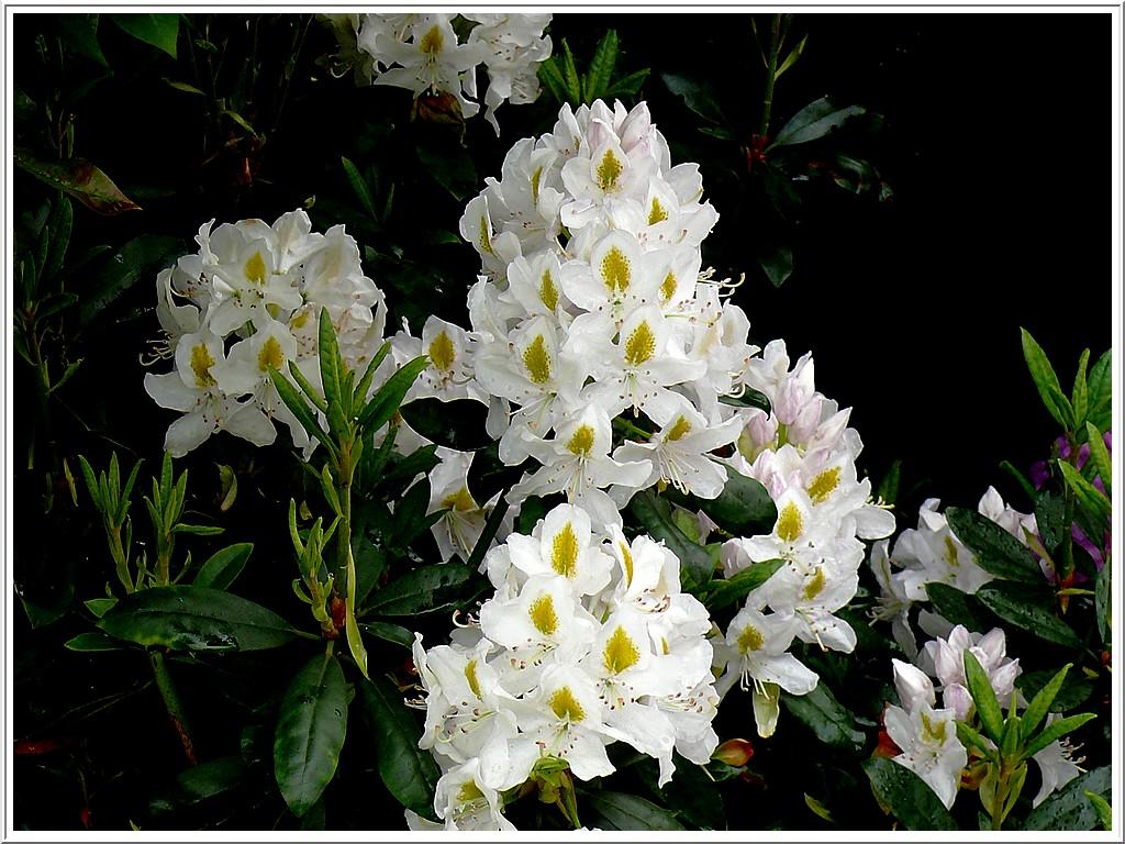 rhodo-blanc-2.jpg