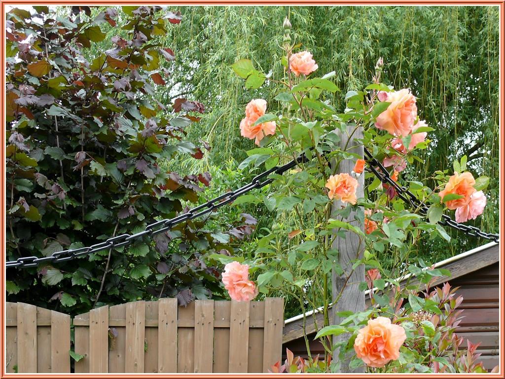 rosier-grimpant.jpg