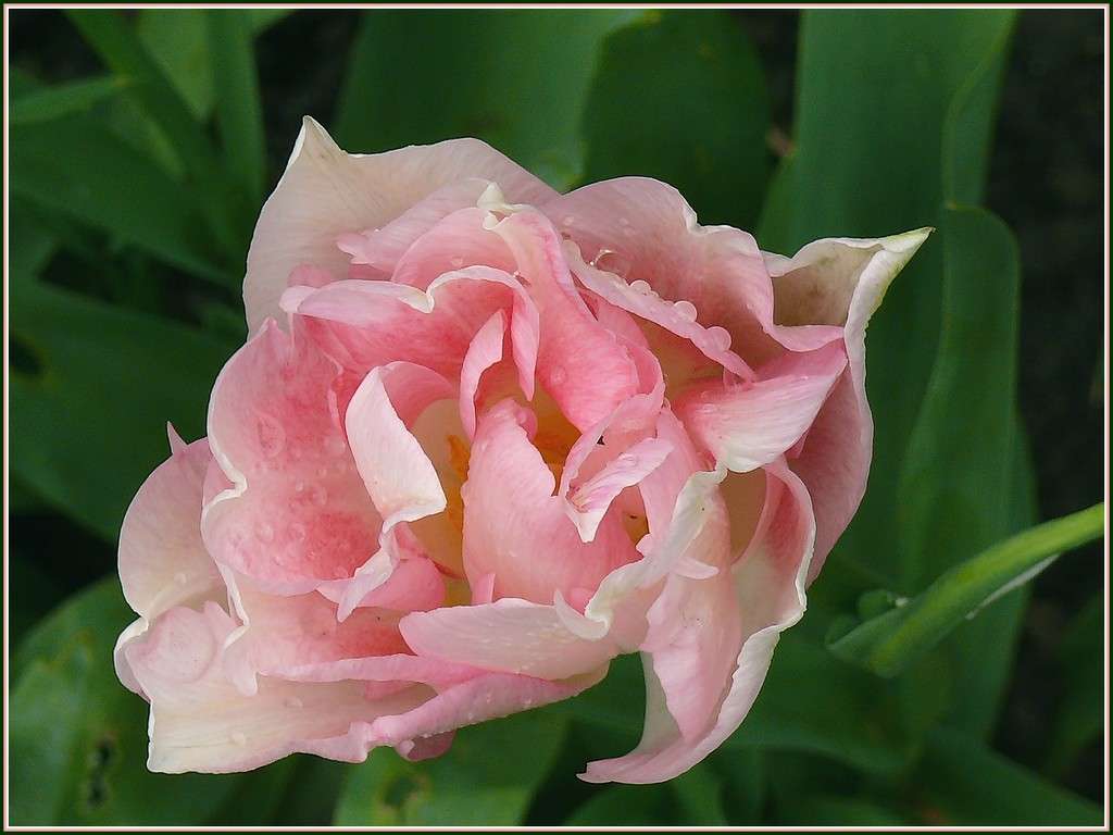 tulipe-1.jpg