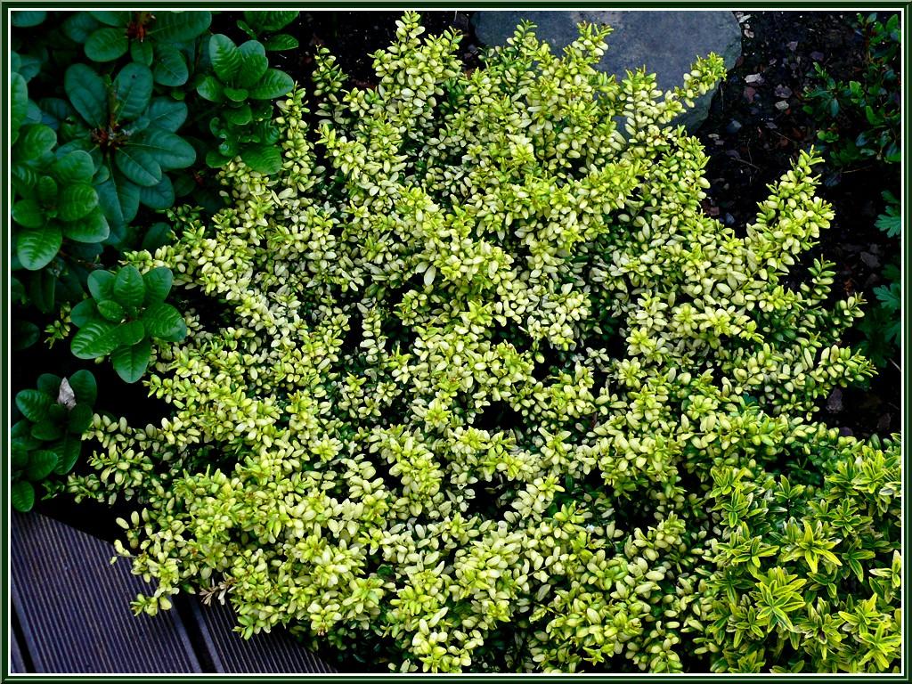 Arbuste De Decoration Ext Ef Bf Bdrieure Cailloux Blanc