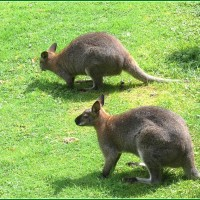 WALLABY DE BENNETT.