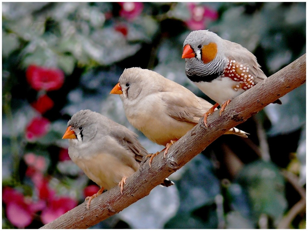 oiseaux diamant mandarin essentiellement nature. Black Bedroom Furniture Sets. Home Design Ideas