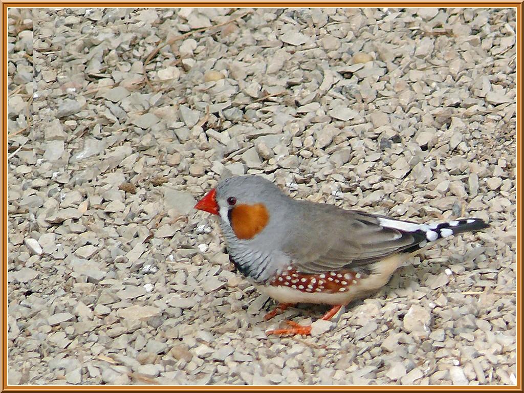 Oiseaux diamant mandarin essentiellement nature for Oiseau noir bec orange