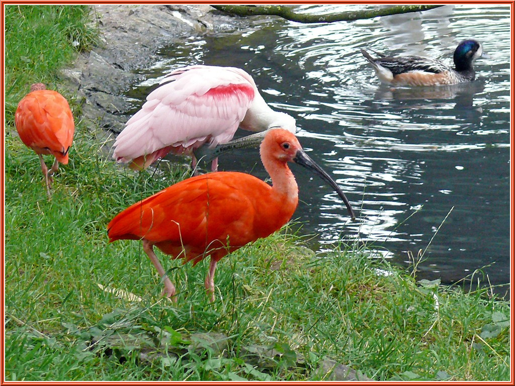 Ibis rouge essentiellement nature for Photo oiseau