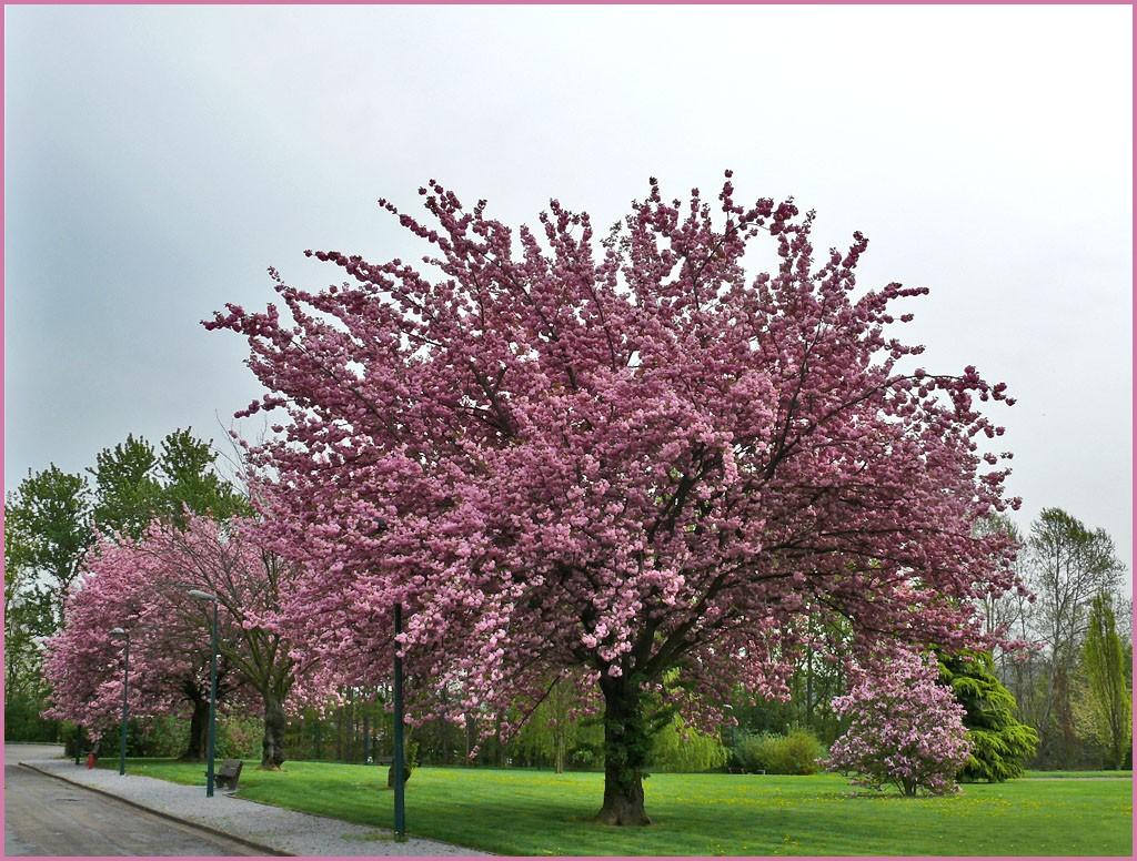 Retour au parc 2 essentiellement nature - Greffe du cerisier au printemps ...