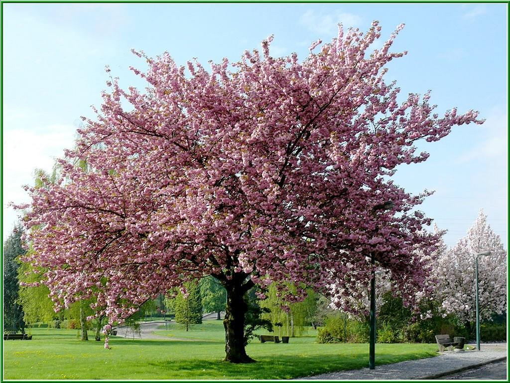 Retour au parc 3 et fin essentiellement nature - Greffe du cerisier au printemps ...