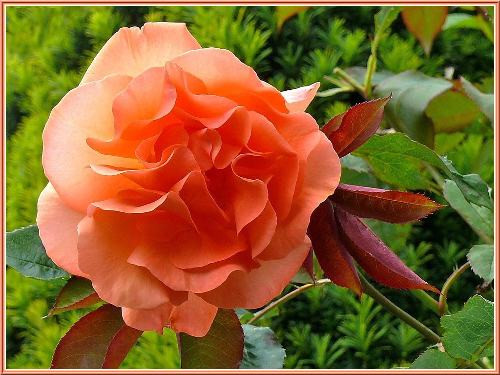 rose de rosier grimpant