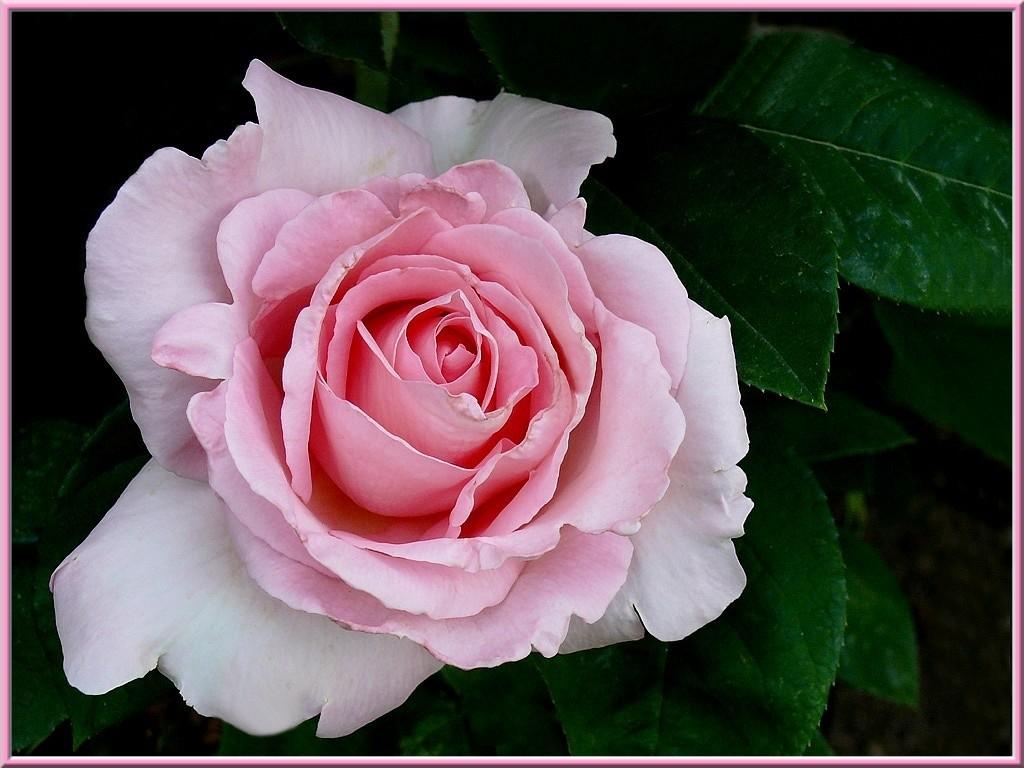 rosier-delbard
