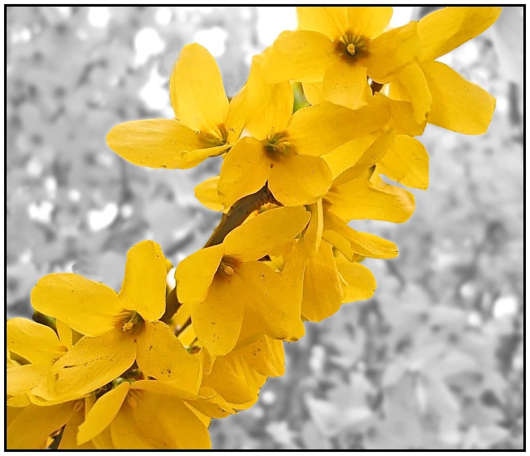 Le printemps revient essentiellement nature - Quand tailler un forsythia ...