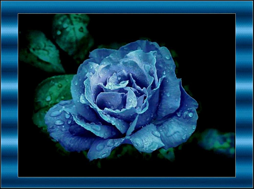 Rose bleue signification fashion designs for Quelle couleur avec le bleu 6 la signification des roses quelle couleur de roses offrir
