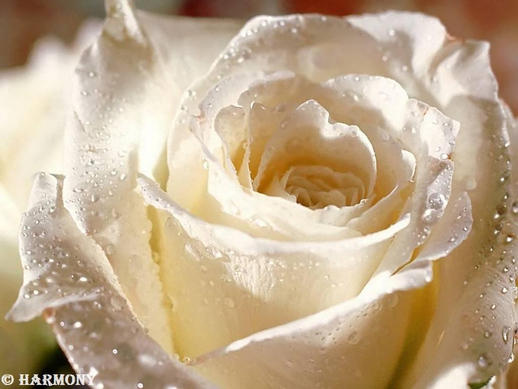 roses-celebres-carte-blanche