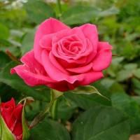 """""""L'AMOUR DES ROSES"""" B"""