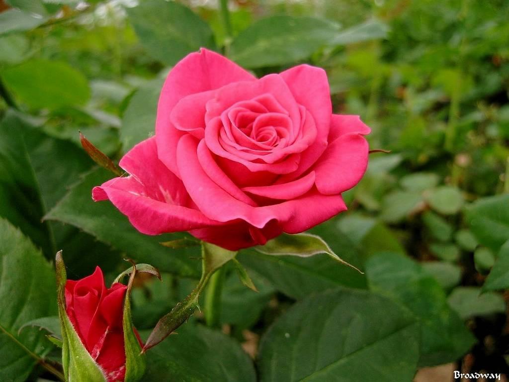 roses-celebres-broadway
