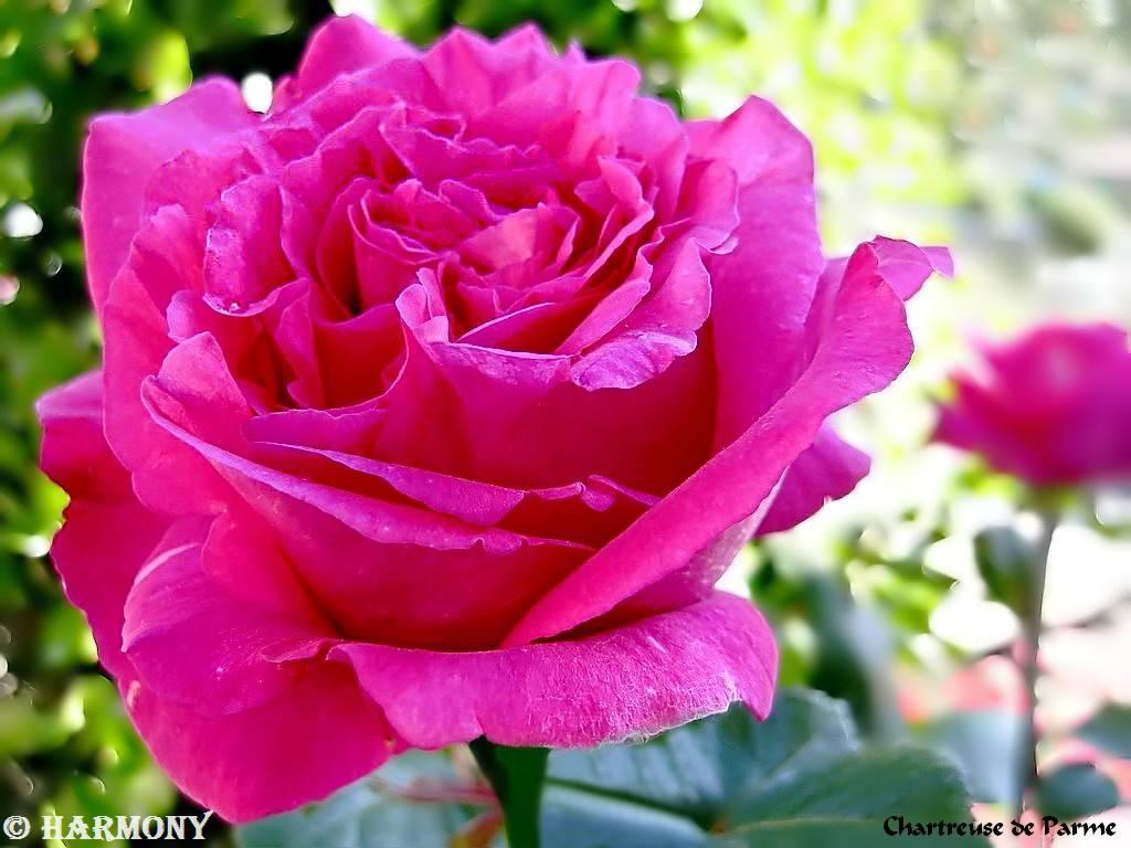 roses-celebres-chartreuse-de-parme