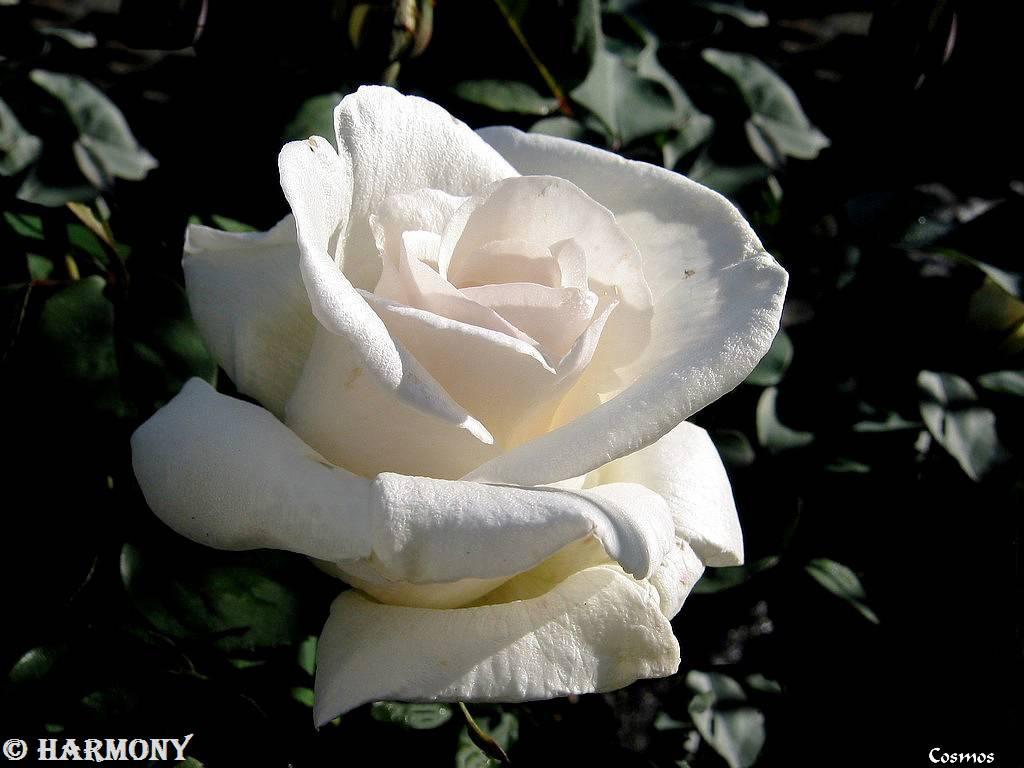 roses-celebres-cosmos