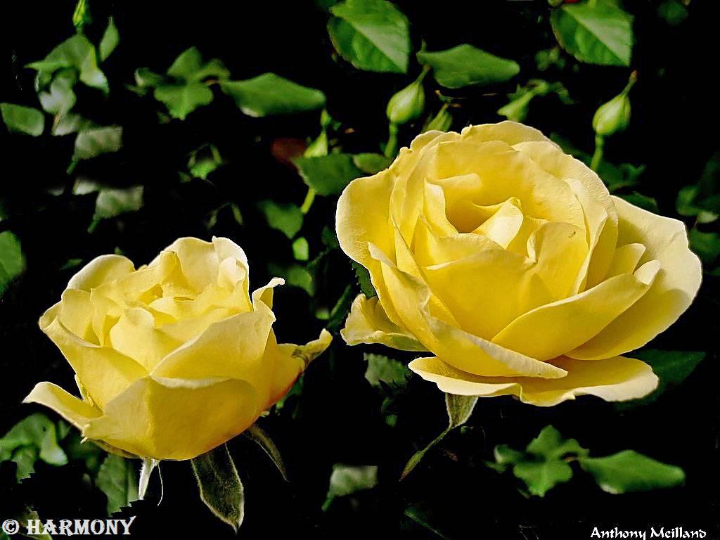 roses-celebres-anthony-meilland