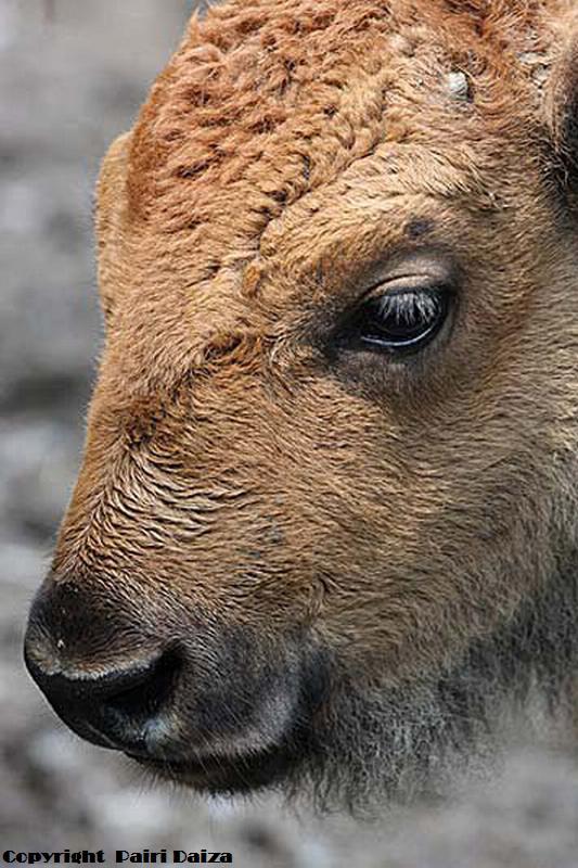 Bison (2)