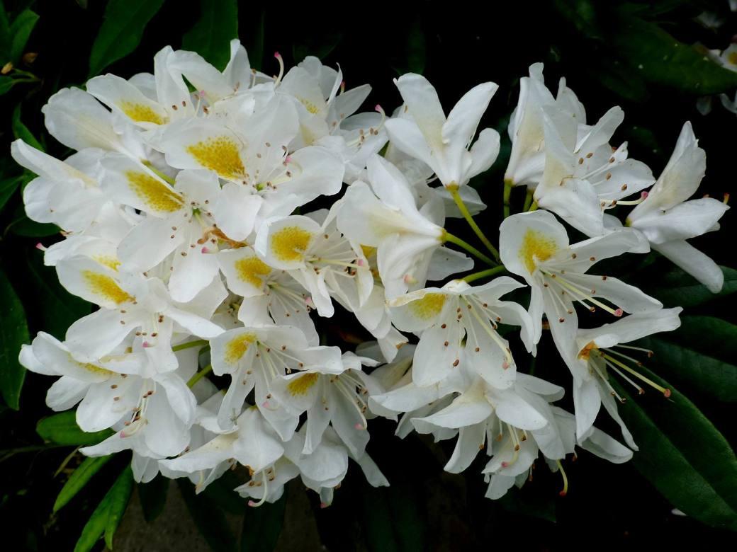 Rhodo blanc-jaune 4.-