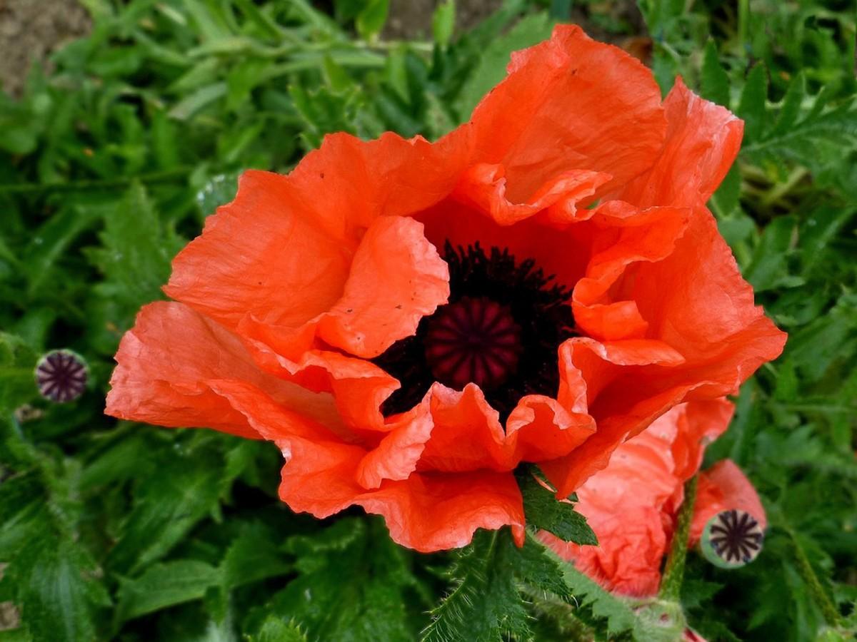 Pavot fleur