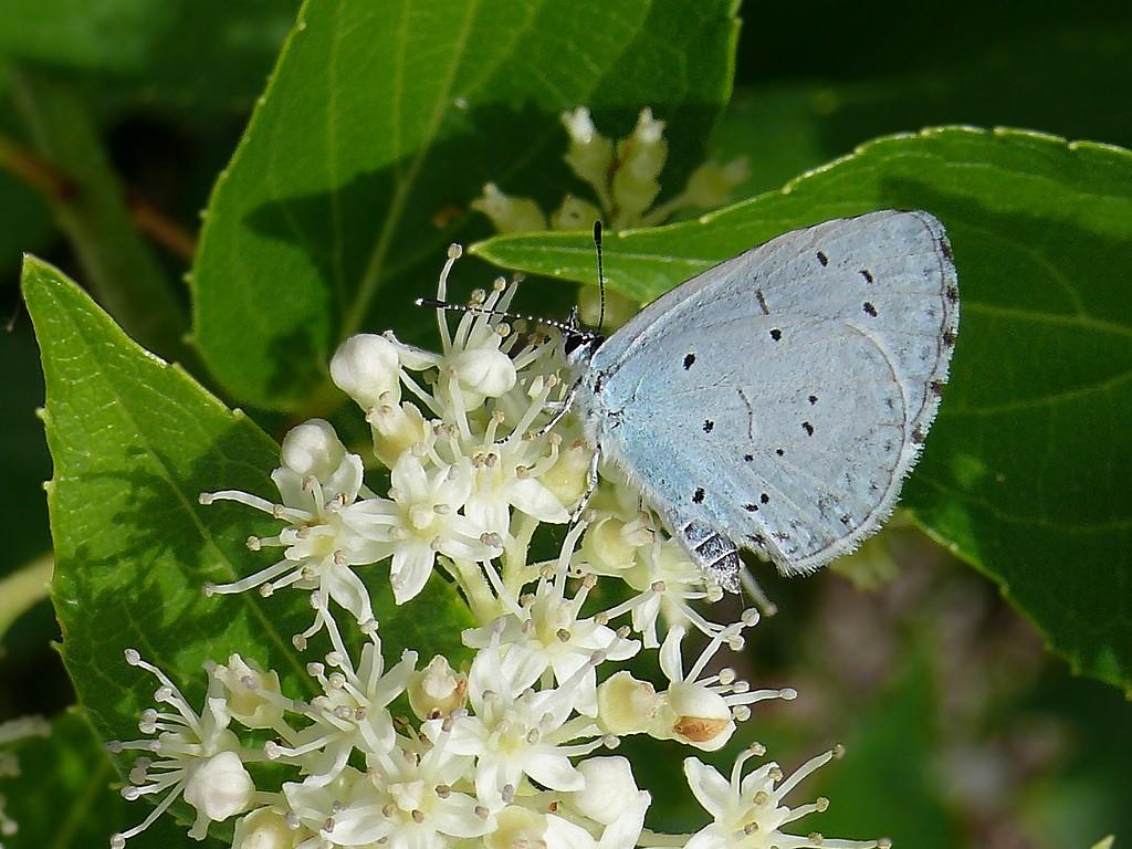 Papillon azuré 1