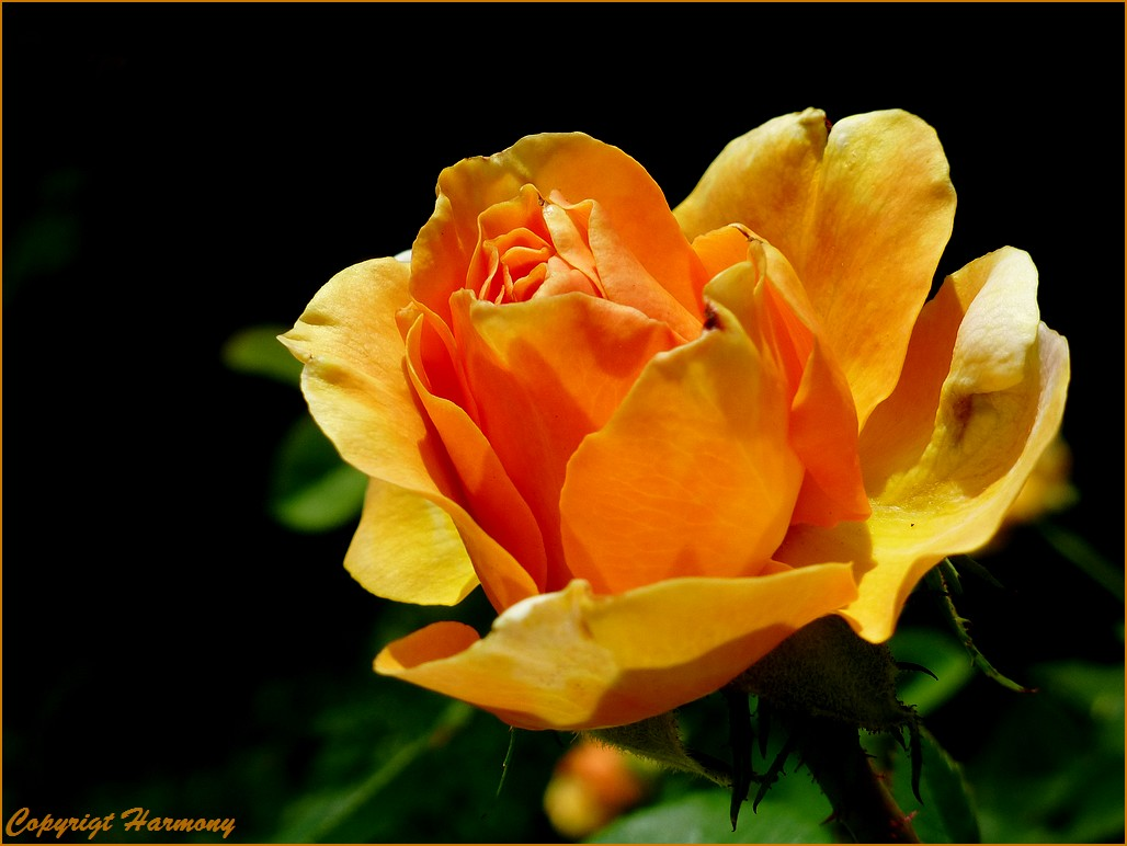 Rose jaune-orangé Yellow Climber