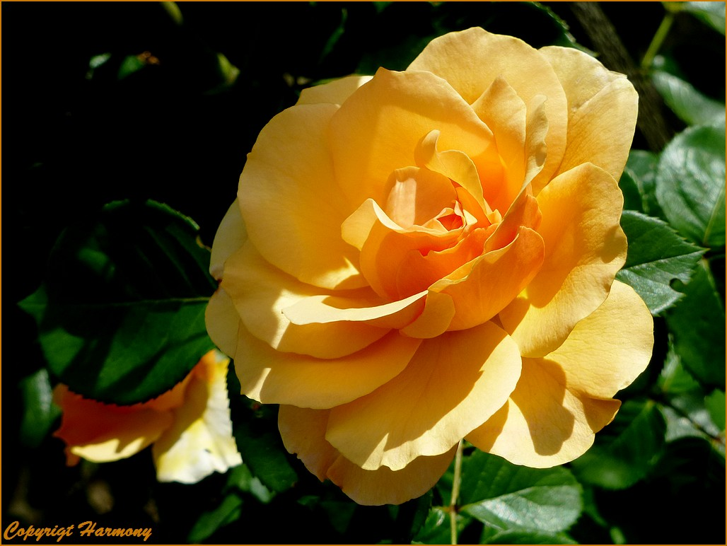 Rose Yellow Climber 1