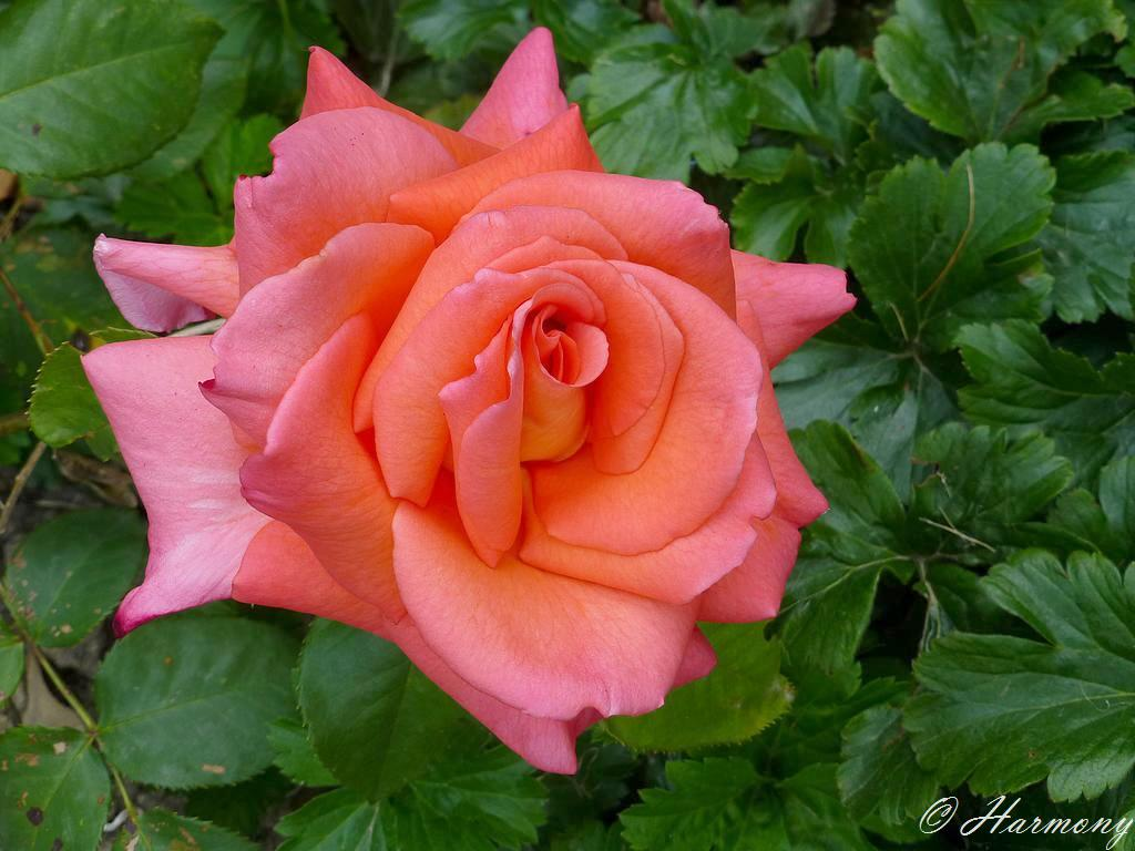 Rose thé 1