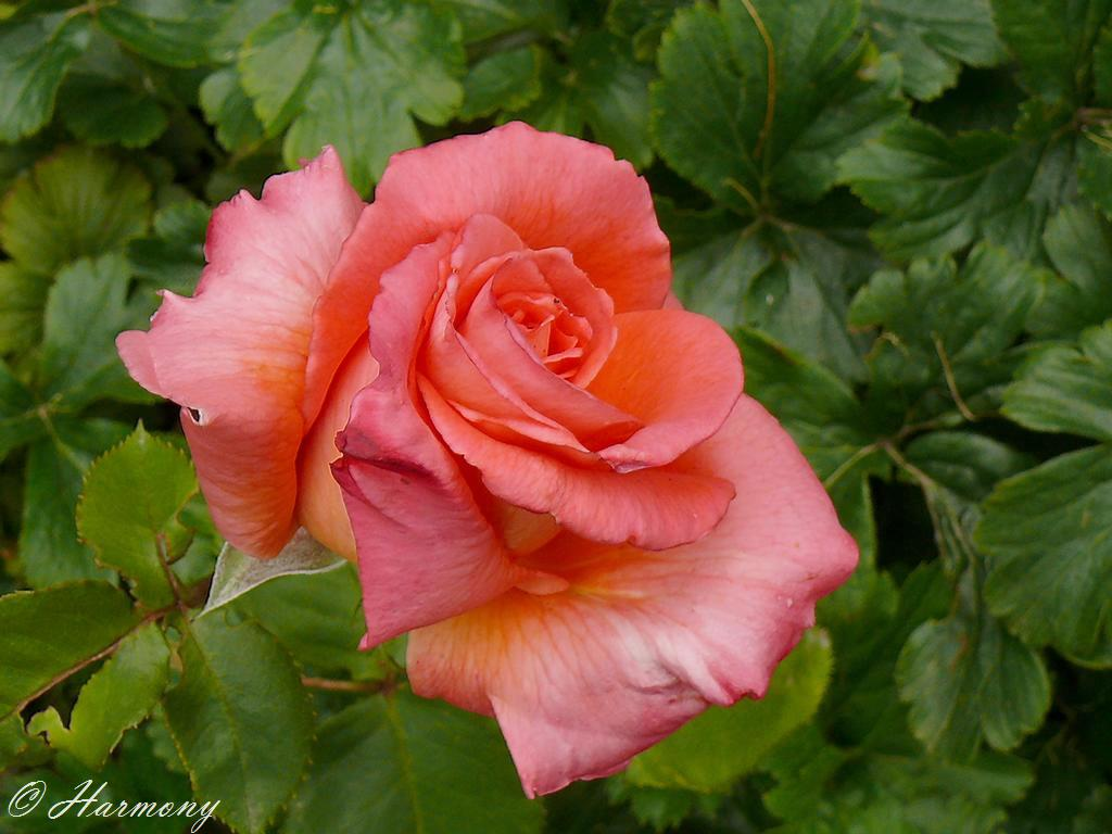 Rose thé 2 -