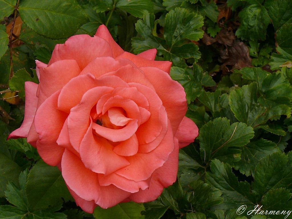 Rose thé 3