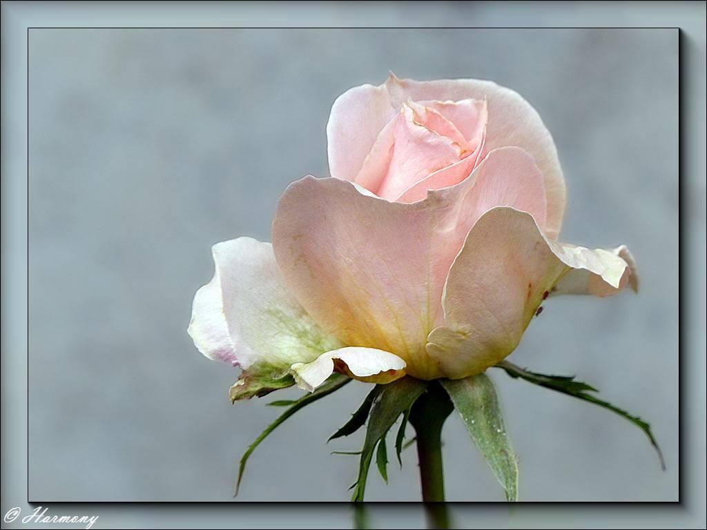 Rose Jardin de Bagatelle