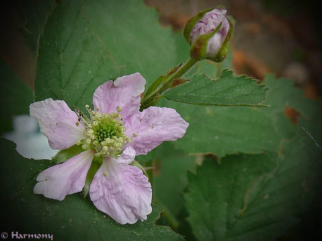 Fleur de mûrier 2