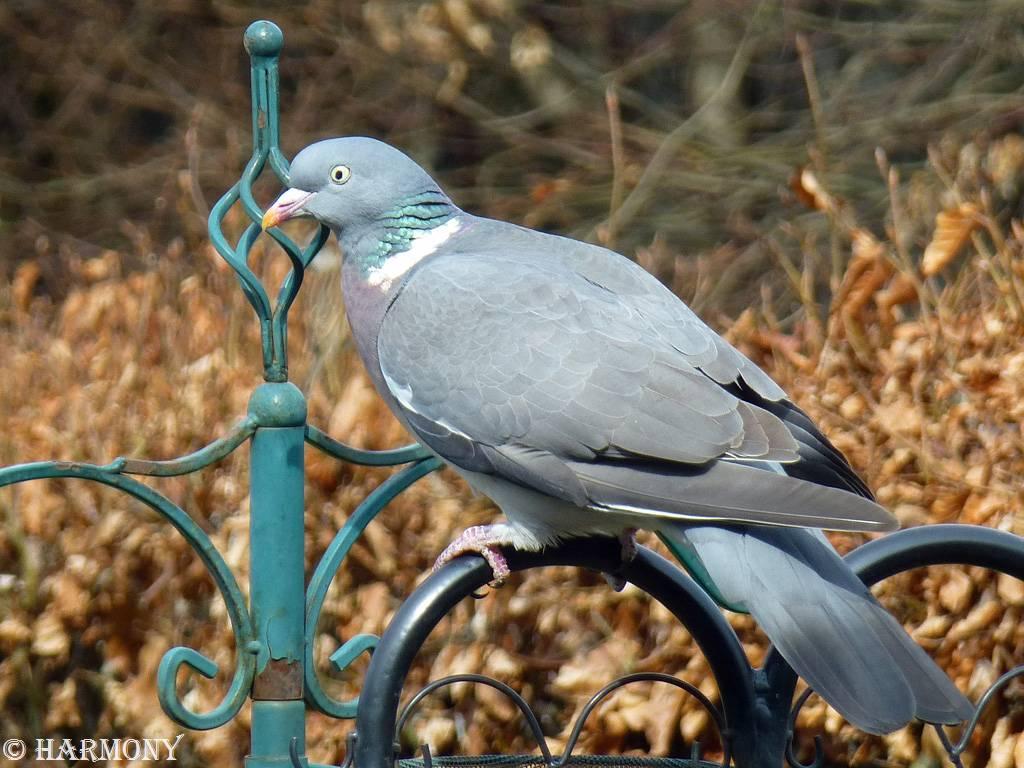 Pigeon ramier 1
