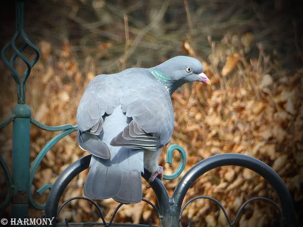 Pigeon ramier 2