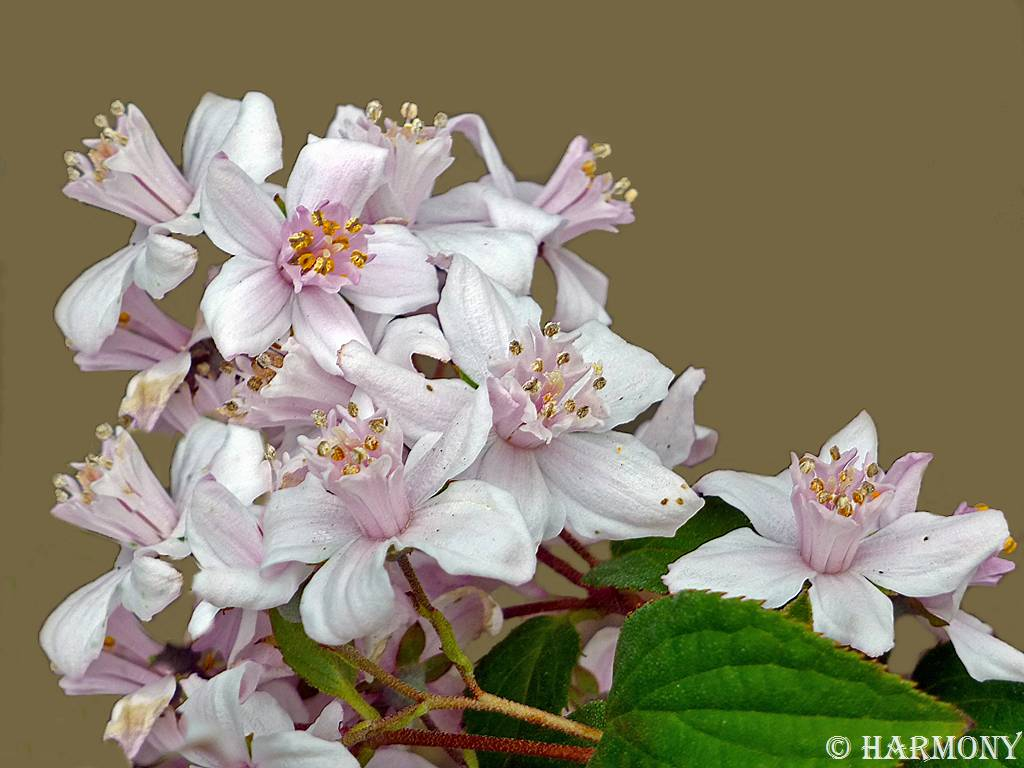Deutzia Mont rose 2