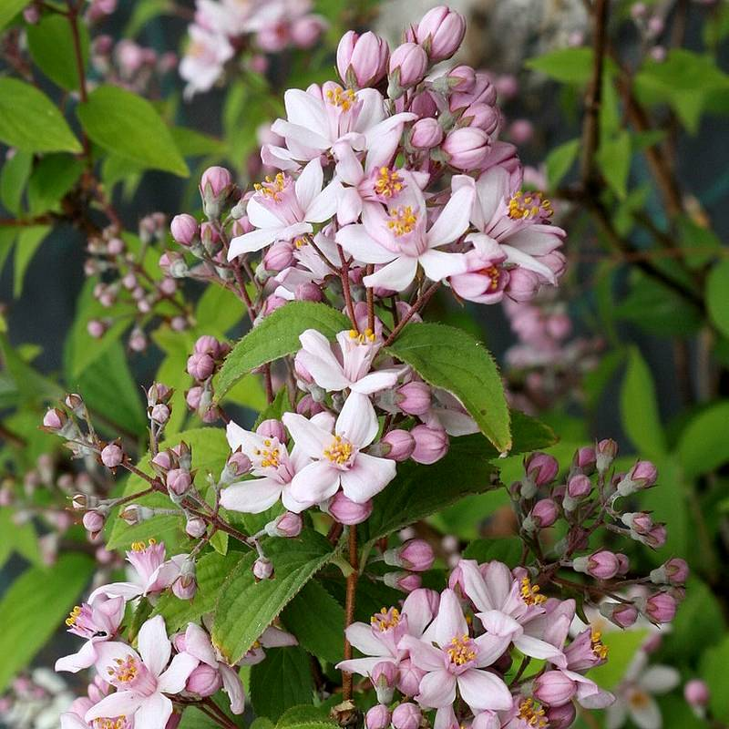 deutzia_hybrida_mont_rose.1