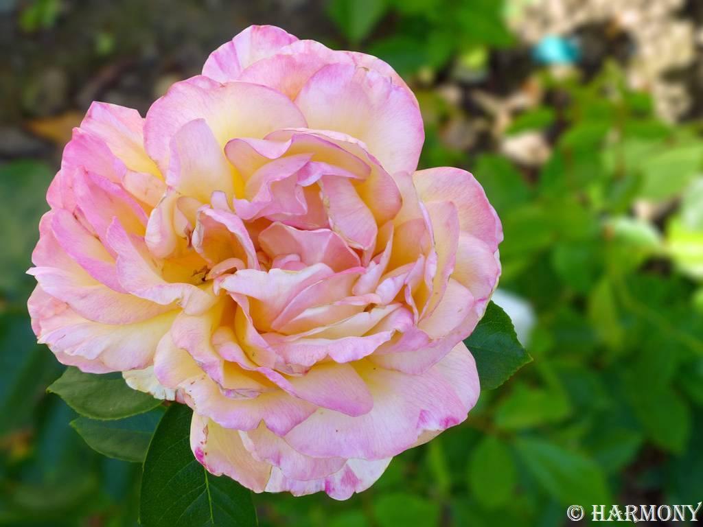 Rose Mitsouko.-